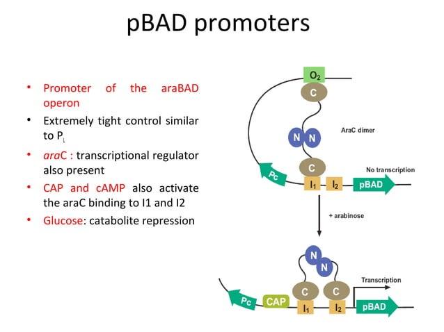 Ribosome Binding Site (RBS) or Shine-Dalgarno (S/D) sequence  RBS RBS 5-10 n START GAAGGAATTCAGGAGCCCTTCACCATG ... ... • S...