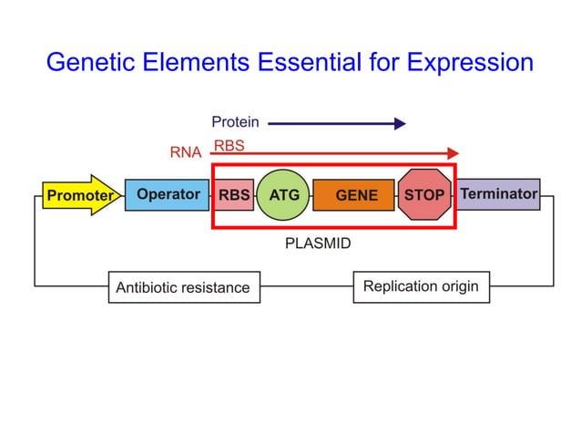 • Prokaryotes may involve factor-dependent and factorindependent transcription termination • Factor-independent terminator...