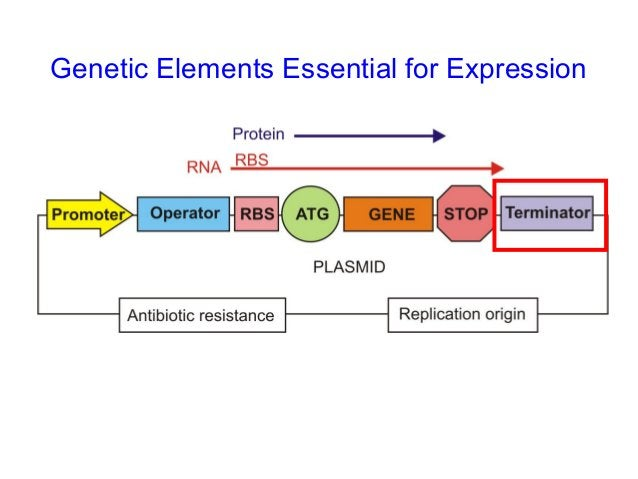 Specialist transcriptional vectors have been developed that facilitate the production of RNA probes and interfering RNA