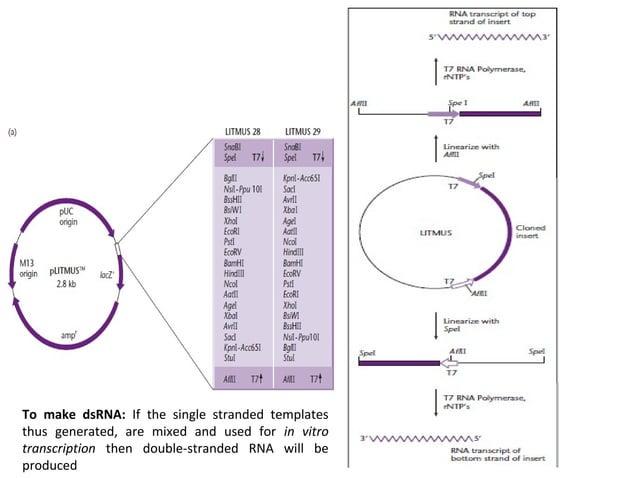Prokaryotic expression vectors