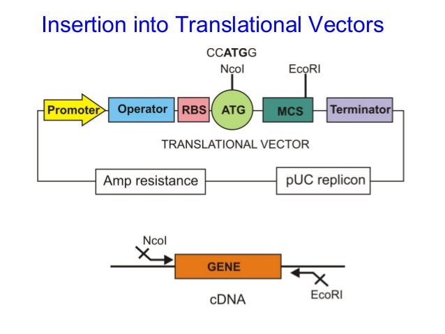 E. Coli Expression vectors: The pTrcHis vectors • pBR322-derived • three different versions pTrcHis A, pTrcHis B pTrcHis C...