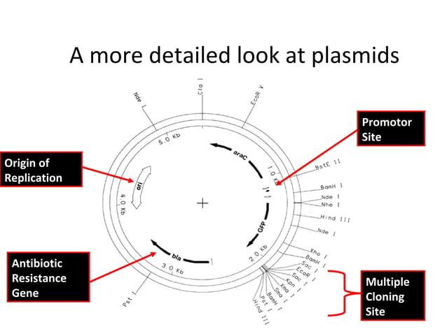 A more detailed look at plasmids Promotor Site Origin of Replication  Antibiotic Resistance Gene  Multiple Cloning Site