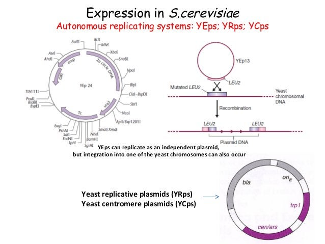 Expression in Saccharomyces cerevisiae