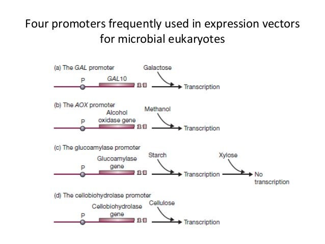Two specialized vectors for use in Saccharomyces (YES vectors) and Pichia (pPICZ) *The YES vectors offer a choice of 2 μm ...