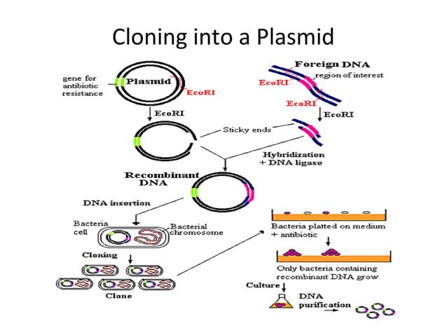 Cloning into a Plasmid