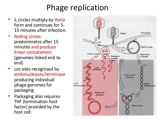 Phage replication • λ circles multiply by theta form and continues for 515 minutes after infection. • Rolling circles pred...