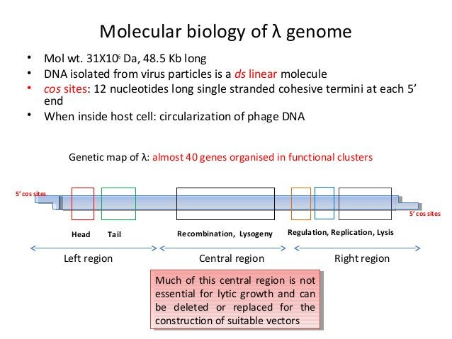 Molecular biology of λ genome • • • •  Mol wt. 31X106 Da, 48.5 Kb long DNA isolated from virus particles is a ds linear mo...