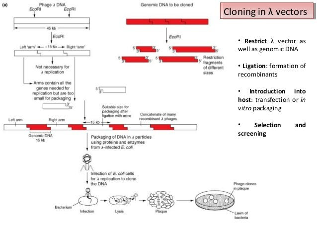 Cloning in λ vectors Cloning in λ vectors • Restrict λ vector as well as genomic DNA • Ligation: formation of recombinants...