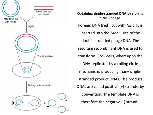 Obtaining single-stranded DNA by cloning in M13 phage.  Foreign DNA (red), cut with HindIII, is inserted into the HindIII ...