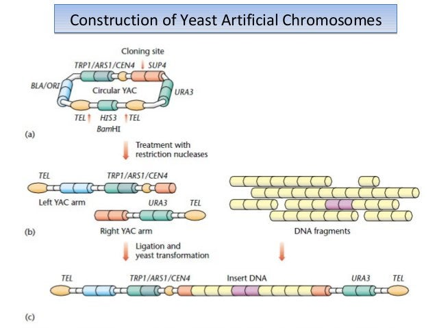 Some biological features of YAC vectors The stability of YAC vectors in yeast per se is similar to that of natural The sta...