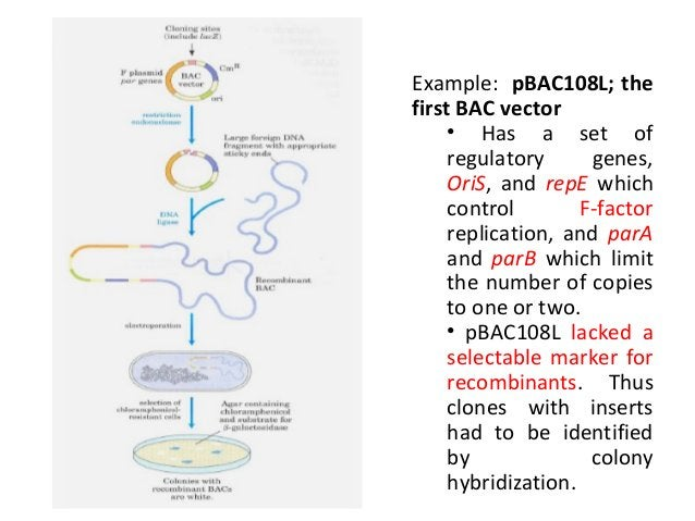 • Advantages of BACs • lower levels of chimerism • stable • ease of library generation and insert manipulation