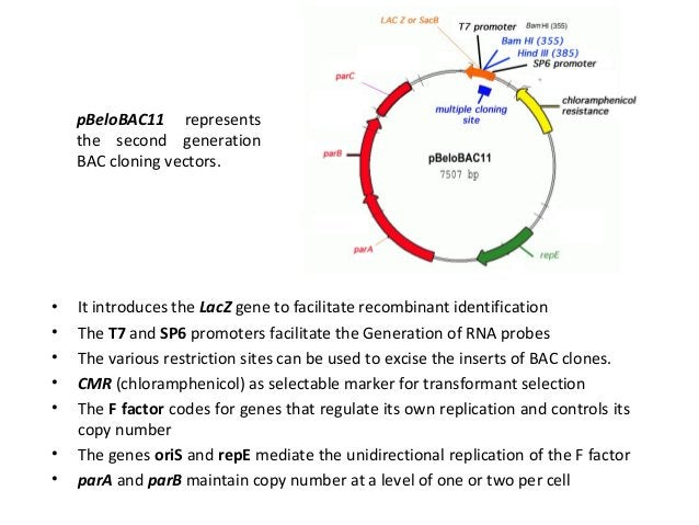 Animal virus derived vectors • Replicons analogous to bacterial plasmids are not found in animal cells. • Some viruses are...