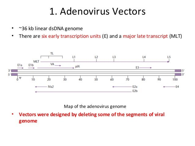 • If viral genes are deleted then recombinant vector can be propagated in helper cell lines only • Most vectors derived fr...