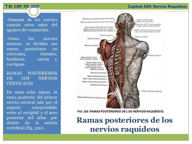 Anatomía;Sistema nervioso periférico, nervios raquídeos, plexo cervic…