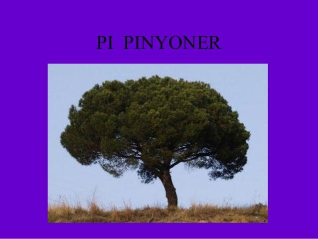 PI PINYONER