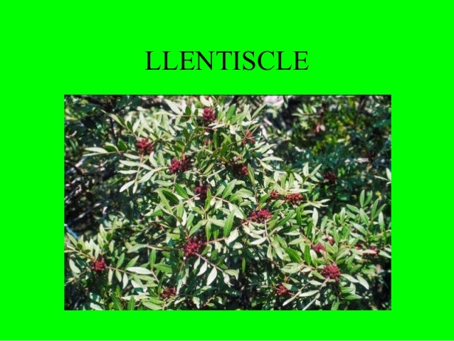 LLENTISCLE