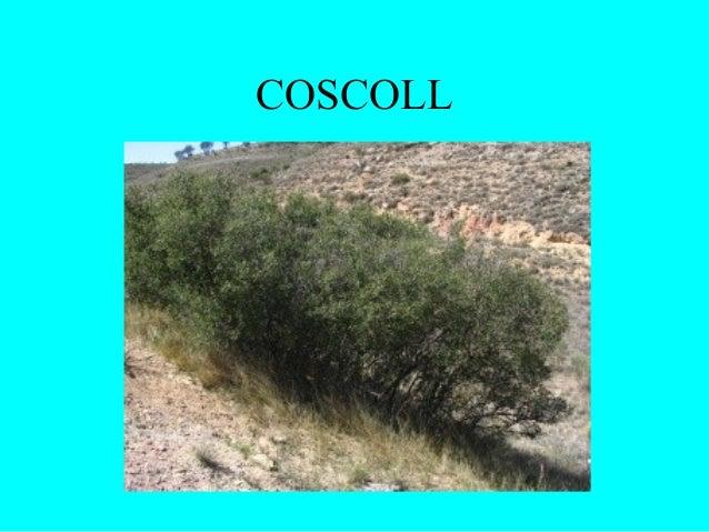 COSCOLL