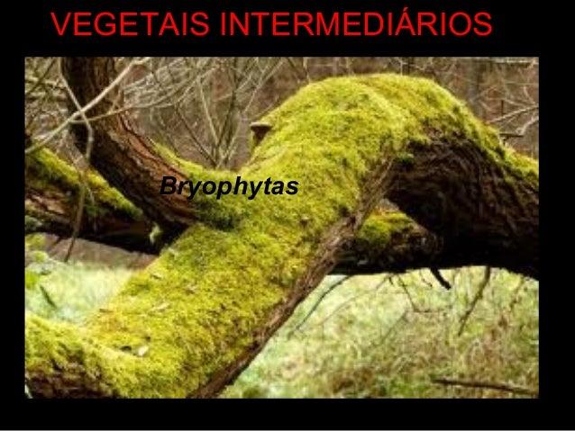 VEGETAIS INTERMEDIÁRIOS Bryophytas
