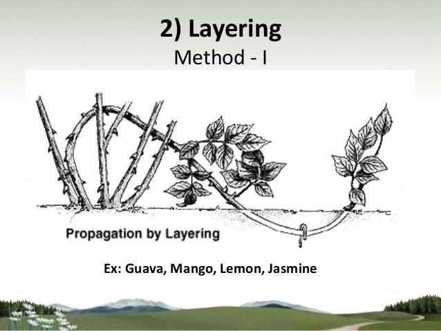 Asexual propagation grafting citrus