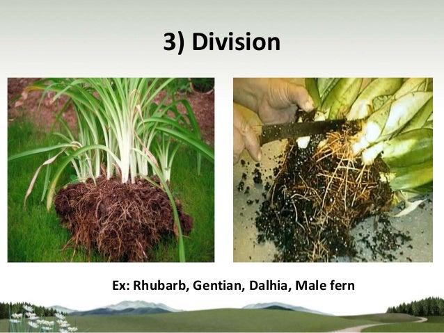 Asexual plant propagation division diagram