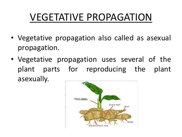 Vegetative propagation asexual reproduction definition in biology