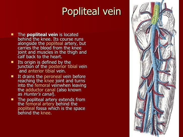 Vein Of Lower Limb