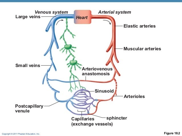 relationship of arteries arterioles capillaries venules and veins
