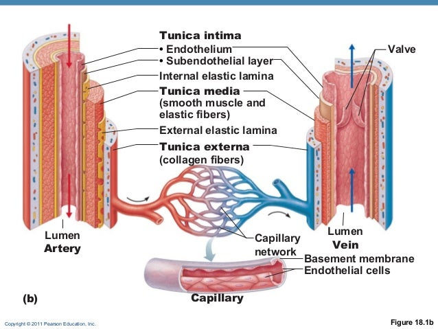 Structure of arteries veins and capillaries