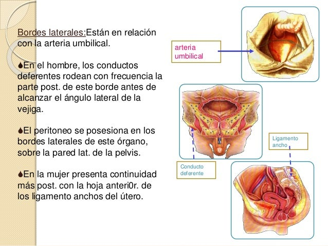 Vejiga urinaria ANATOMIA