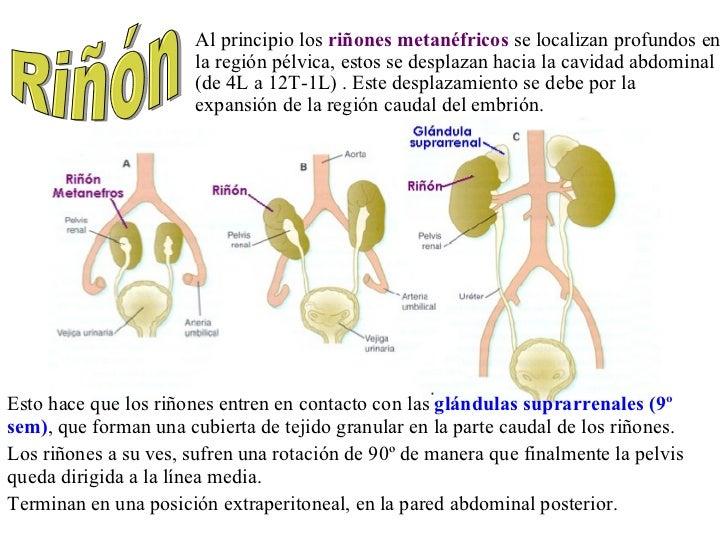 <ul><li>Esto hace que los riñones entren en contacto con las  glándulas suprarrenales (9º sem) , que forman una cubierta d...