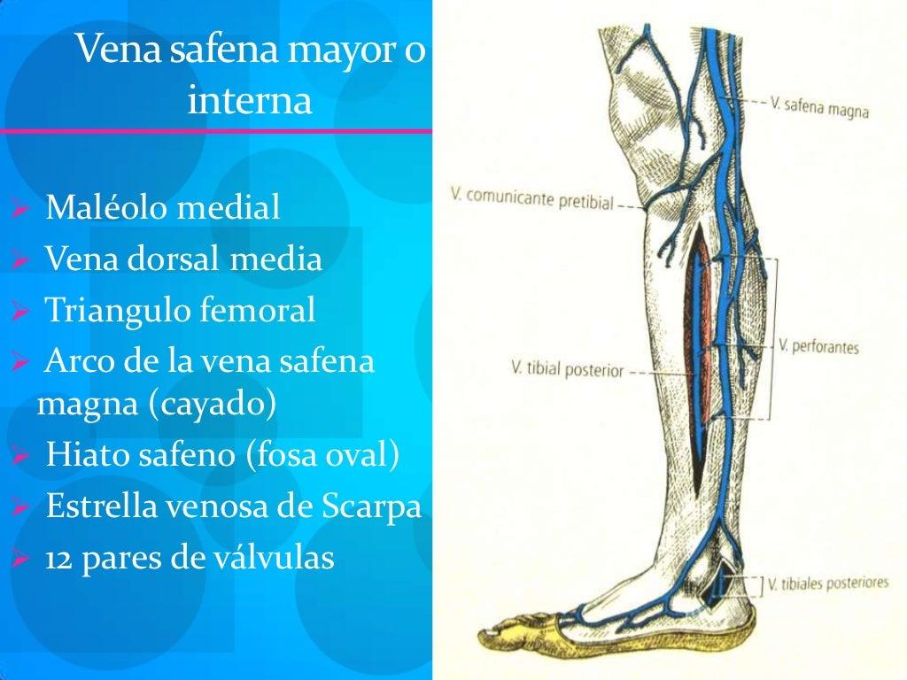 Atractivo Anatomía Gran Vena Safena Motivo - Anatomía de Las ...