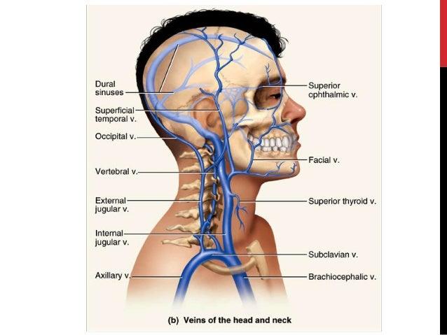 Vena jugularis externa || Med-koM