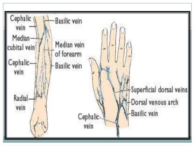 venipuncture ppt, Cephalic vein