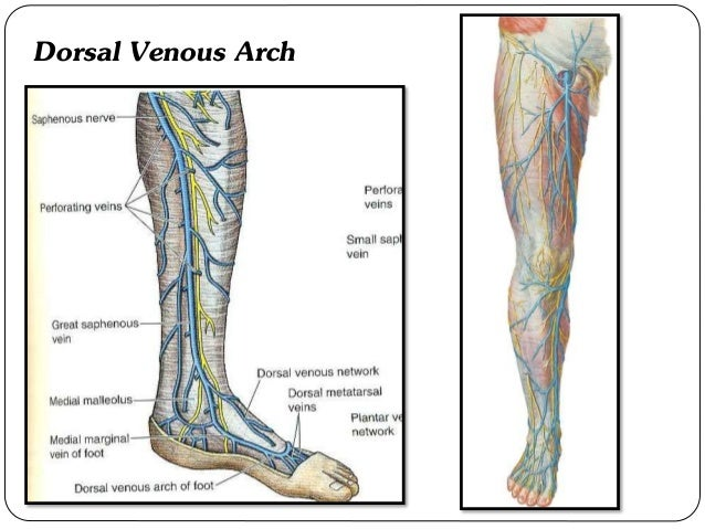Venous Drainage Of Lower Limb