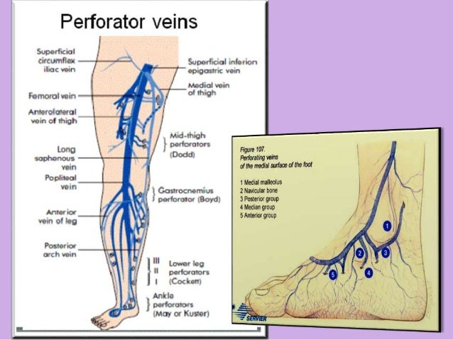 Venous Drainage Of Lower Limb Ppt