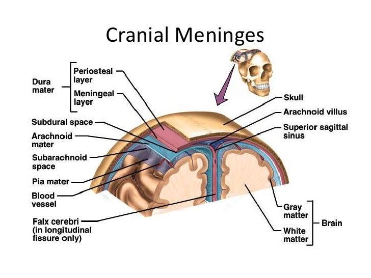 Venous sinuses venous sinuses dreed mustafa 2 cranial meninges ccuart Choice Image