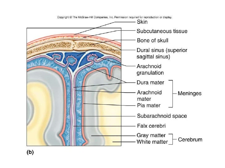 Location Of The Stomach In The Human Body moreover Regional anatomy diagram likewise 28315 together with Organs In The Umbilical Region The 9 Regions Of The Abdomen Video Lesson Transcript Study likewise Venous Sinuses. on dorsal body cavities diagram