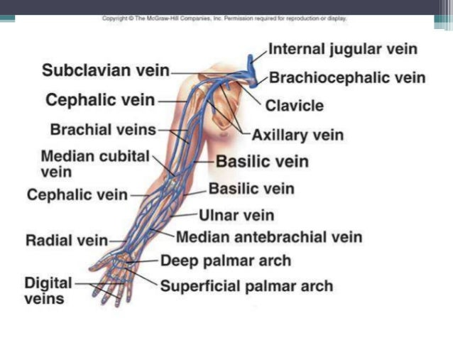 venous system, Cephalic Vein