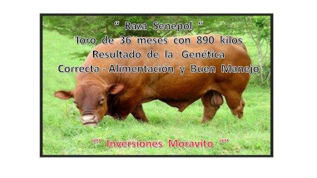 """Somos """" Inversiones Moravito """" Ofrecemos Semillas de Calidad en : • • • •  Pastos : Cuba 22 - Clon 51 y otras forrajeras d..."""