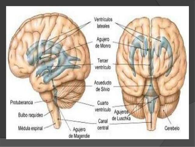 LCR  El LCR es producido en un 70% en los plexos coroideos de los cuatro ventrículos cerebrales, sobre todo los laterales...