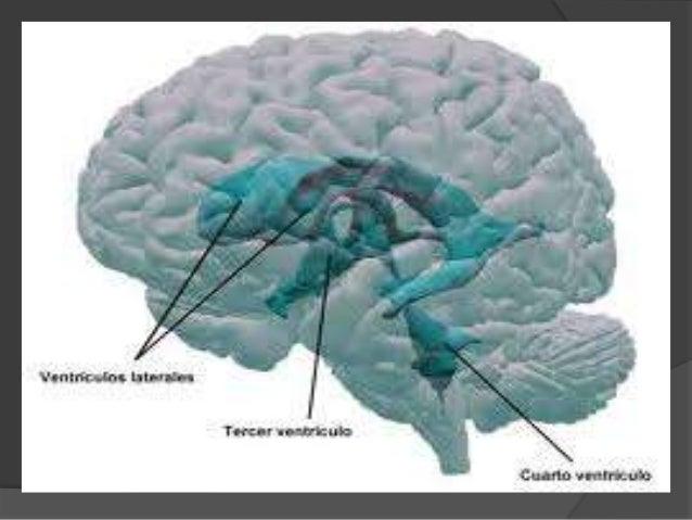 VENTRÍCULOS LATERALES  Tienen forma irregular y son los más grandes de los ventrículos, están formados por 2 porciones ce...