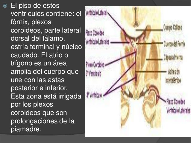 TERCER VENTRÍCULO  Es una hendidura vertical y estrecha que está entre las 2 mitades del diencéfalo. El receso óptico es ...
