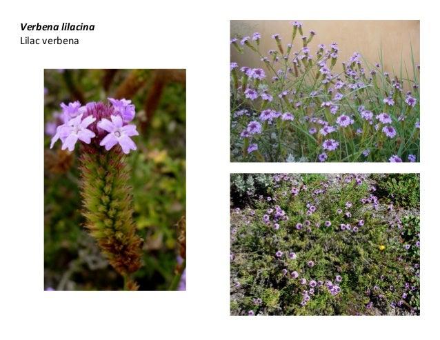 Verbena lilacina Lilac verbena