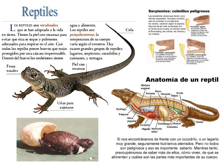 Excelente Anatomía De Los Reptiles Ilustración - Anatomía de Las ...