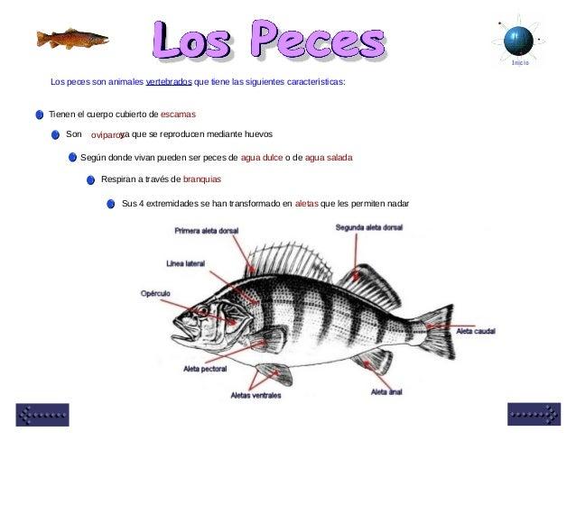 Inicio Los peces son animales vertebrados que tiene las siguientes características: Tienen el cuerpo cubierto de escamas S...