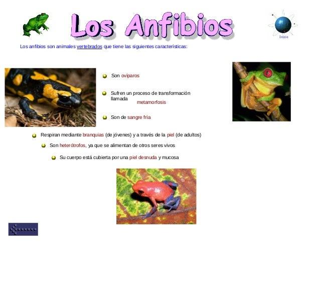 Inicio Los anfibios son animales vertebrados que tiene las siguientes características: Su cuerpo está cubierta por una pie...