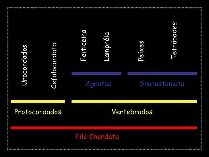 Tetrápodes<br />Feiticeira<br />Lampréia<br />Peixes<br />Cefalocordata<br />Urocordados<br />Agnatos<br />Gnatostomata<br...