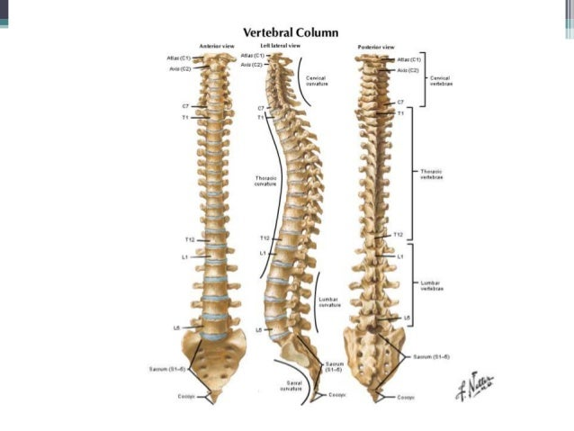 anatomy of vertebral column, Human Body