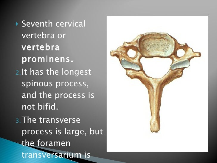 Vertebral Column And Contents Of The Vertebral Canal