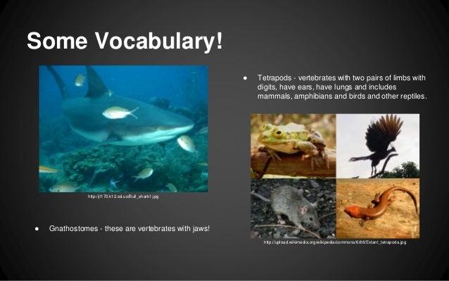 Tetrapods - vertebrate...